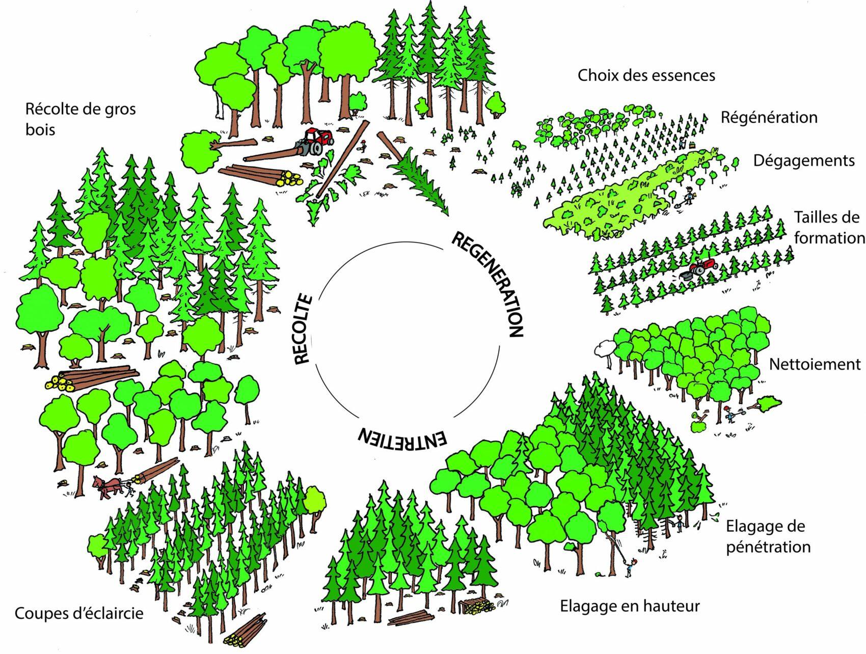 Cycle de la forêt - régénération, entretien, récolte