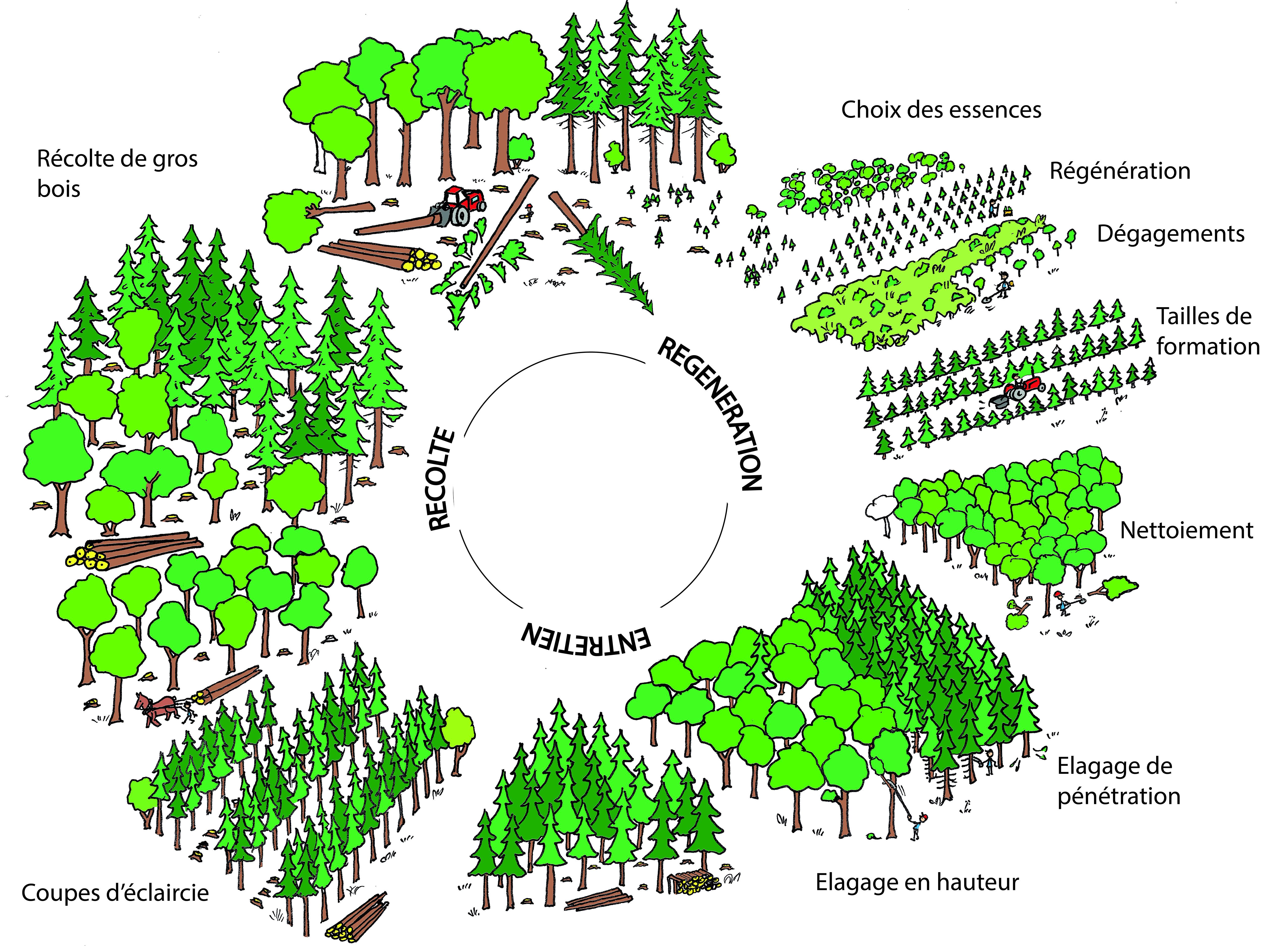 la forêt - régénération, entretien, récolte
