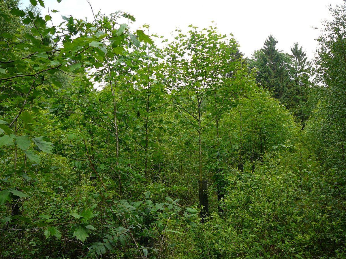 Feuillus précieux en forêt et en agroforesterie : écologie, sylviculture, marché, débouchés