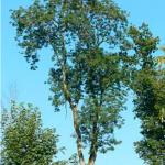 Découverte du frêne élevé